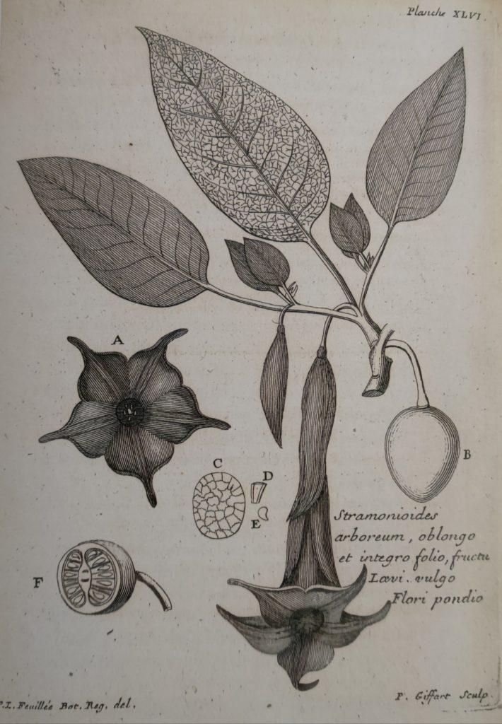 brugmansia arborea engletrompet